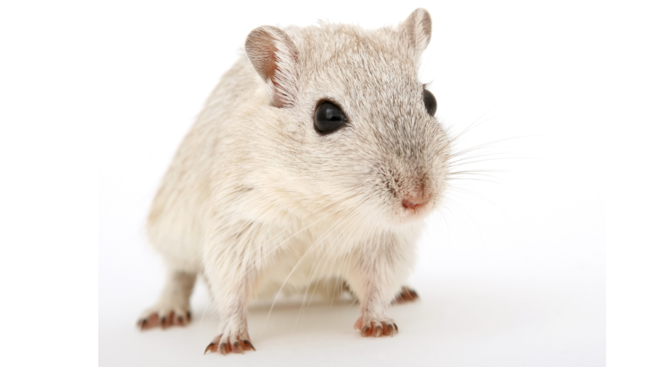 La sperimentazione sui topi tra vincoli etici e una burocrazia asfissiante